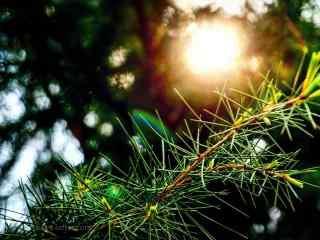 唯美护眼阳光穿透松树桌面壁纸