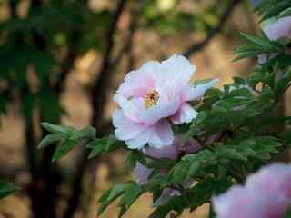 谷雨习俗-赏牡丹花群图片壁纸