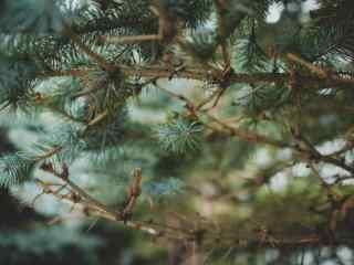 唯美好看的松树林桌面壁纸