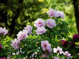 谷雨习俗-赏牡丹花群桌面壁纸