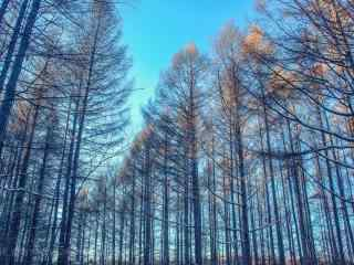 秋日唯美好看的松树林桌面壁纸