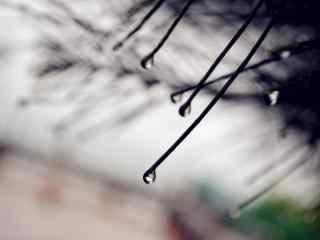 雨珠悬挂在松针上