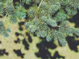 唯美小清新绿色松