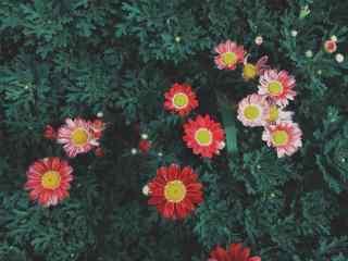 绿色护眼的红雏菊桌面壁纸