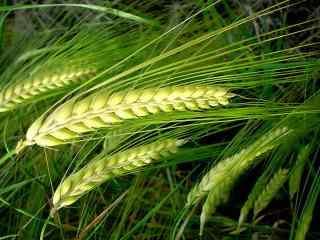 绿色的麦子高清桌