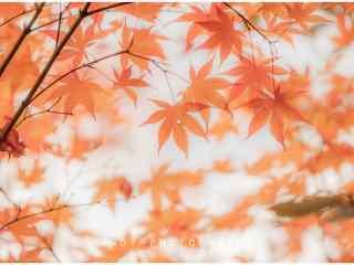 唯美好看的红色枫