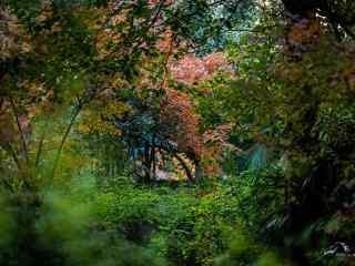 郁郁葱葱的绿色枫