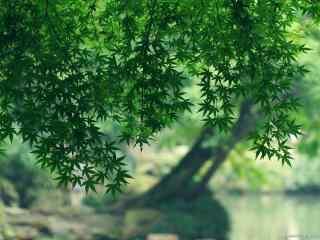 小清新绿色护眼枫