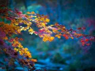 秋日里的红色的枫