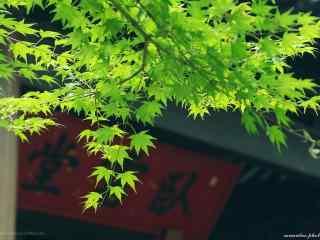 庭院里绿色护眼枫