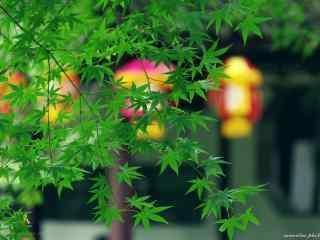绿色护眼枫叶桌面