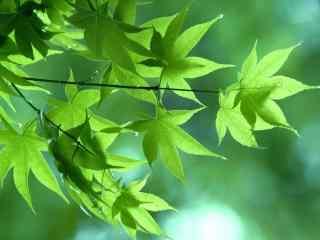 绿色护眼夏日枫叶