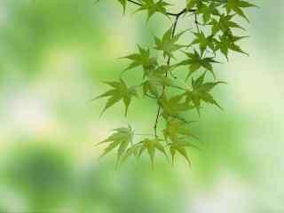 夏日绿色枫叶护眼