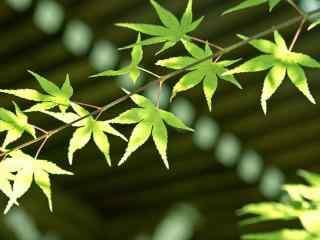 夏日护眼绿色枫叶