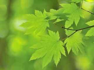 清新翠绿色枫叶护