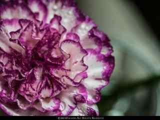 唯美紫色康乃馨花束桌面壁纸