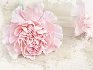 唯美好看的粉色康乃馨桌面壁纸