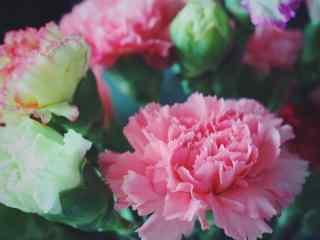 唯美绿色康乃馨花束桌面壁纸