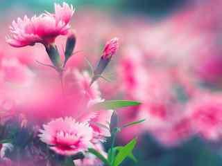 唯美康乃馨粉色花海桌面壁纸
