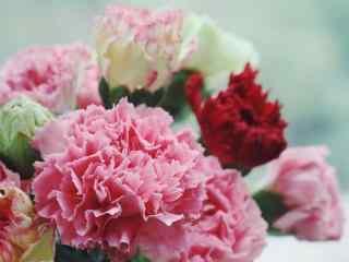 清新好看的康乃馨鲜花桌面壁纸