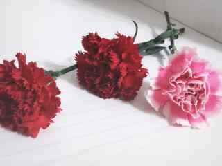 唯美红色康乃馨桌面壁纸