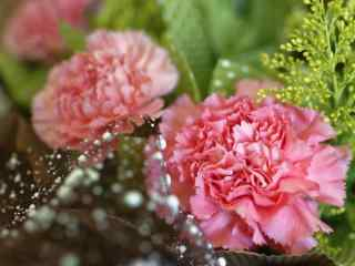 小清新粉色康乃馨花束桌面壁纸