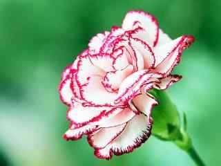 绿色护眼红白色康乃馨桌面壁纸