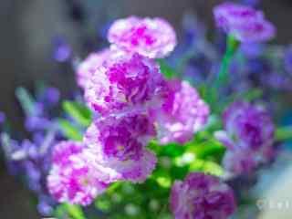 清新好看的紫色康乃馨桌面壁纸