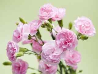 简约好看的康乃馨花束桌面壁纸