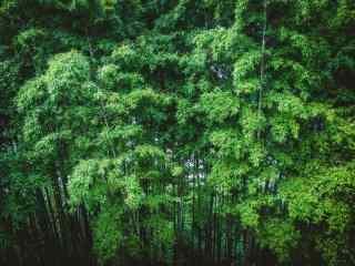 绿色护眼蜀南竹海竹林桌面壁纸