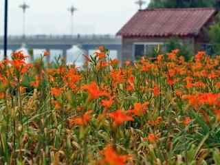 橘红色的忘忧草花海桌面壁纸