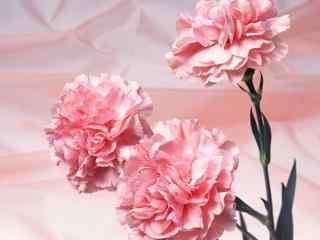 2017母亲节送花之粉色康乃馨