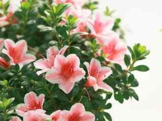 唯美小清新粉色杜鹃花桌面壁纸