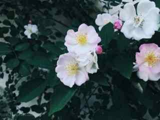 唯美小清新绿色护眼蔷薇花桌面壁纸