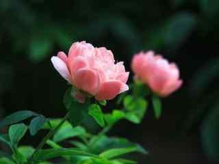 唯美粉色芍药花桌面壁纸