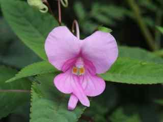 小清新紫色凤仙花桌面壁纸