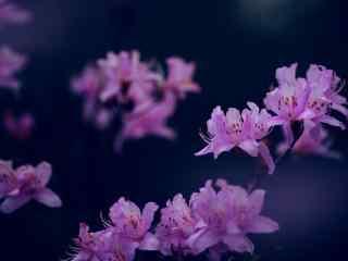 唯美紫色杜鹃花桌面壁纸