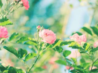 小清新绿色护眼蔷薇花桌面壁纸
