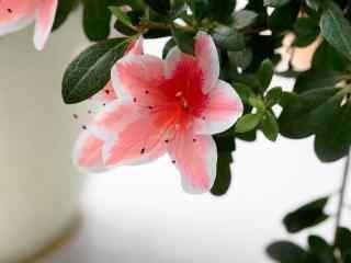 小清新粉色杜鹃花桌面壁纸