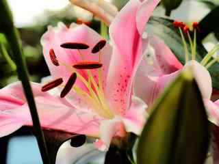 小清新粉色百合桌面壁纸