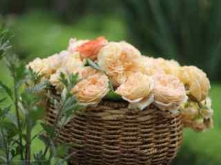 小清新黄色月季花桌面壁纸