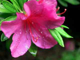 小清新粉色杜鹃花摄影壁纸