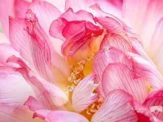 小清新粉色好看的荷花桌面壁纸