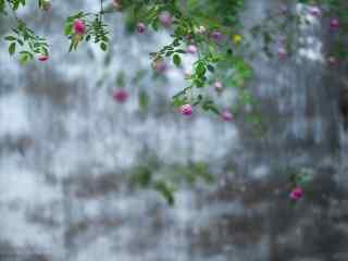 小清新好看的蔷薇花桌面壁纸