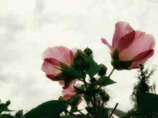 唯美白云下的木槿花桌面壁纸