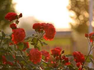唯美落日下的月季花桌面壁纸