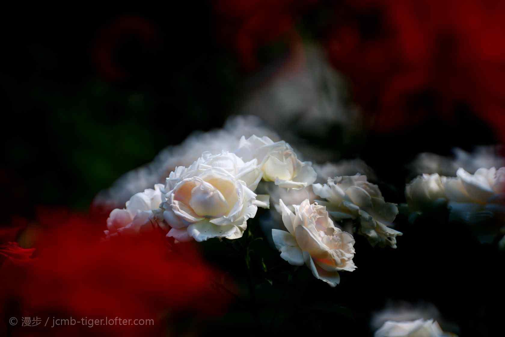 唯美白色月季花花群桌面壁纸