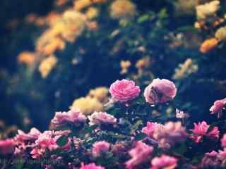 唯美的月季花花群植物壁纸