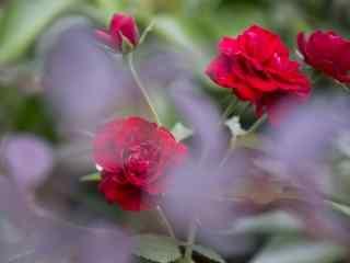 红色月季花唯美桌面壁纸