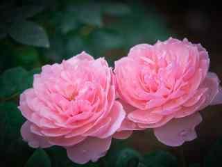 两朵粉色月季花桌面壁纸